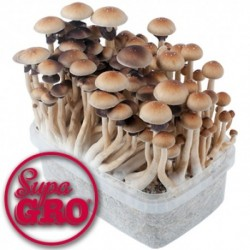 Kit de Setas Alucinógenas Panama | SupaGro